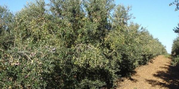 Jornada Tècnica-Reg i fertirrigació en olivera superintensiva